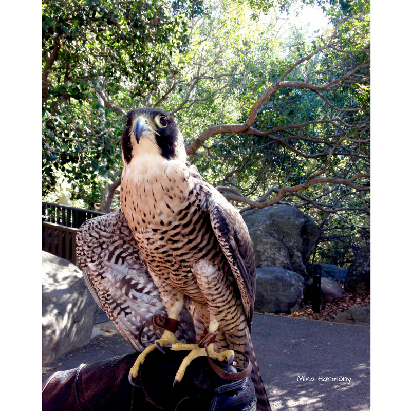 kisa-peregrine-falcon-from-eyes-of-the-sky-santa-barbara-by-mika-harmony