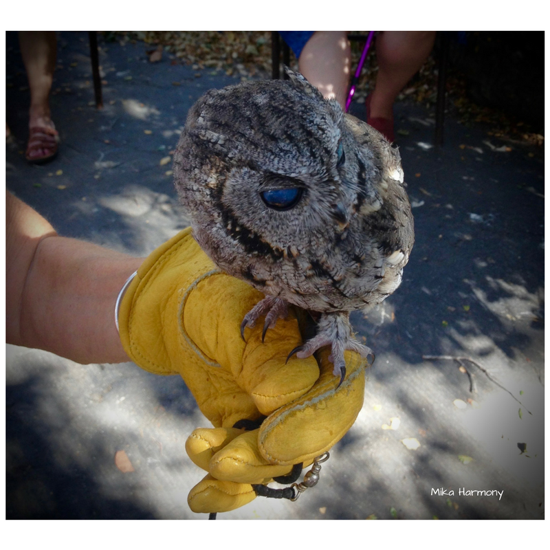 best-photo-of-a-western-screech-owl_eyes-in-the-sky-sb-audobon-society-by-mika-harmony