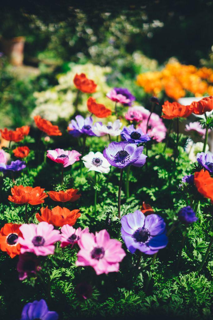 Field of purple, orange, yellow and red flowers by photographer Annie Spratt